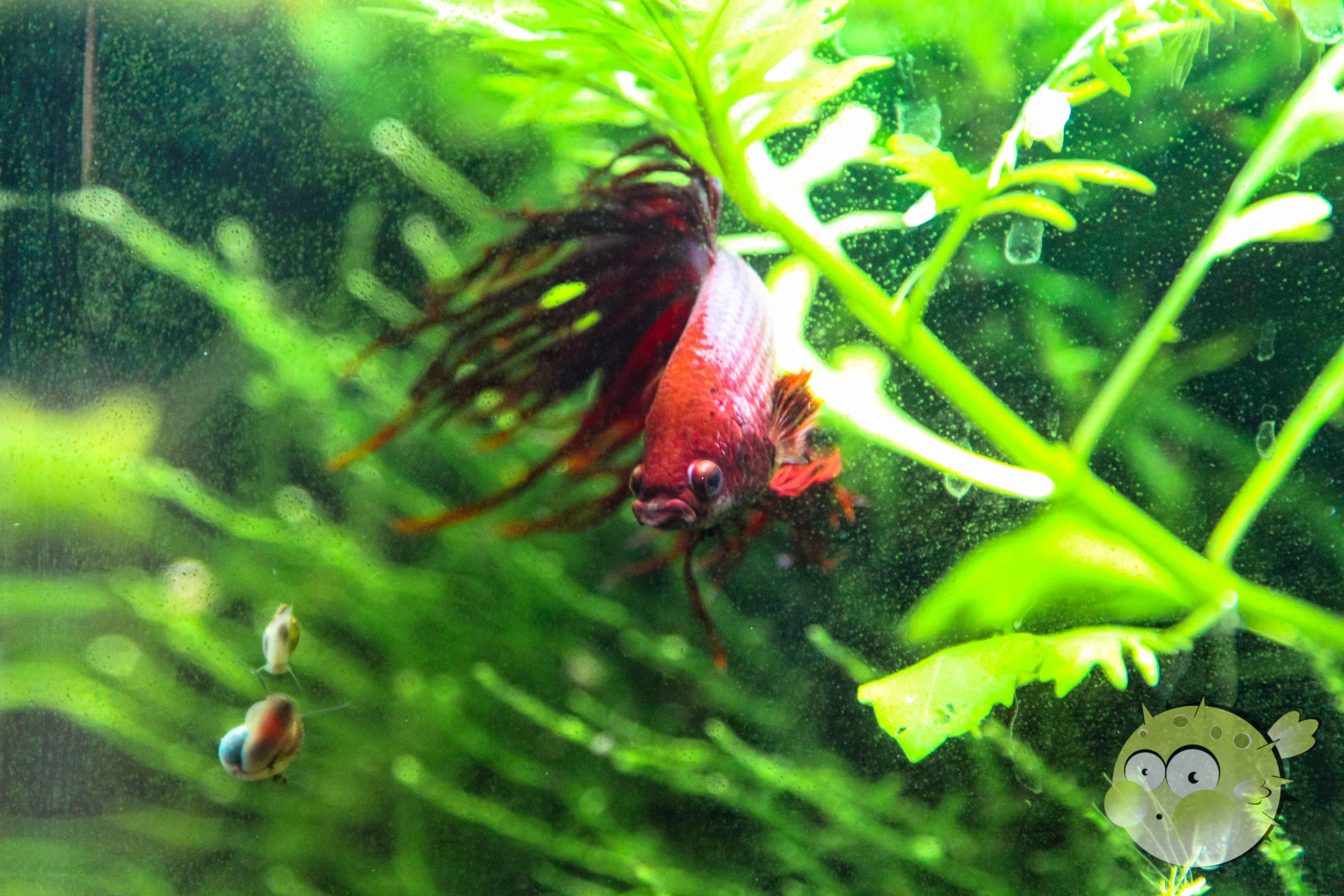 Nano-Fisch-Kampffisch Frais De Aquarium Amazonien Concept