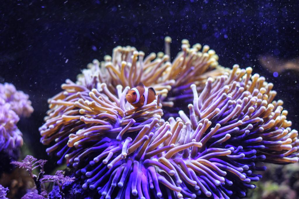 Clownsfisch und LED Beleuchtung