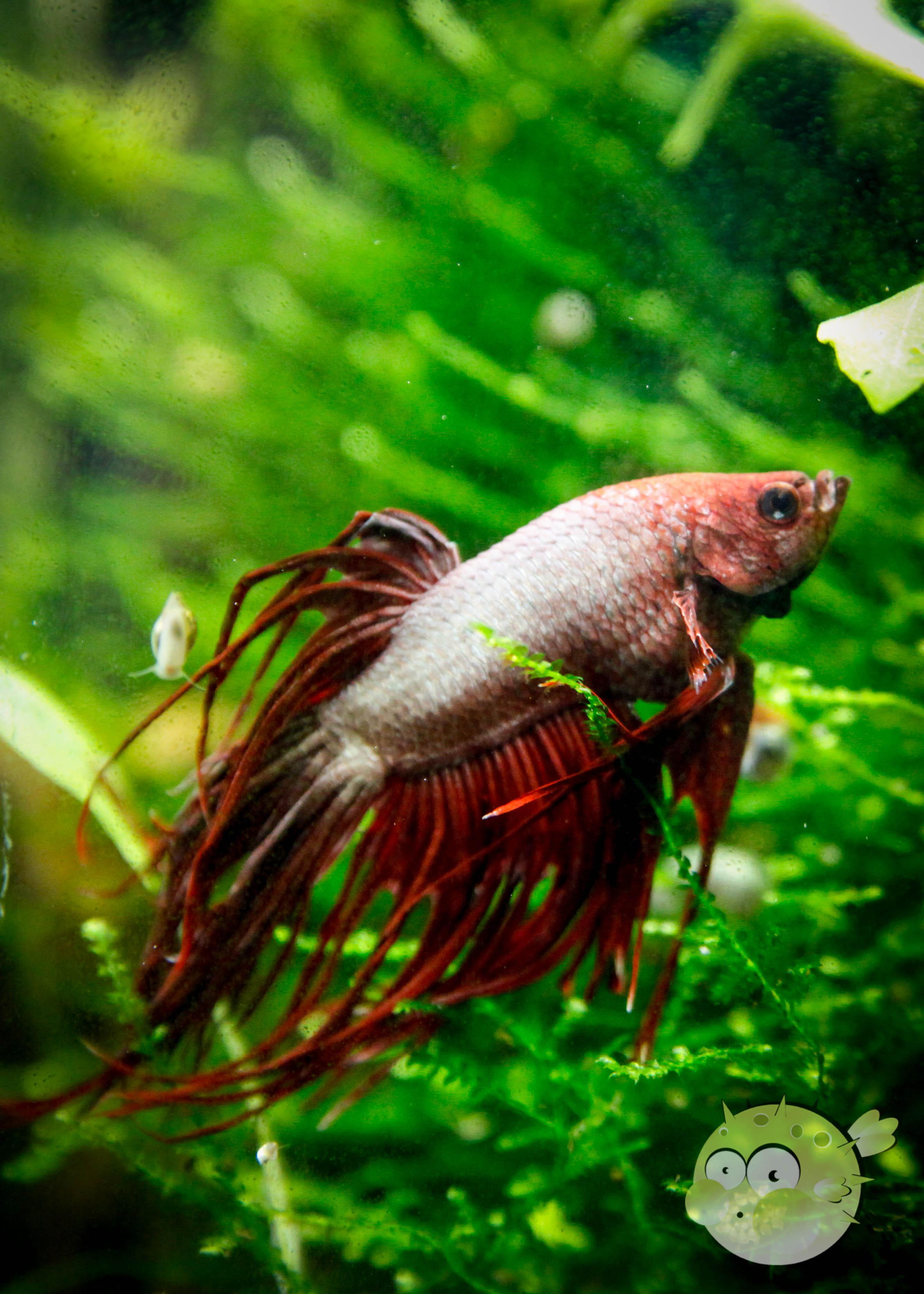 Kampffisch ring frei nanoquarium for Kampffisch futter