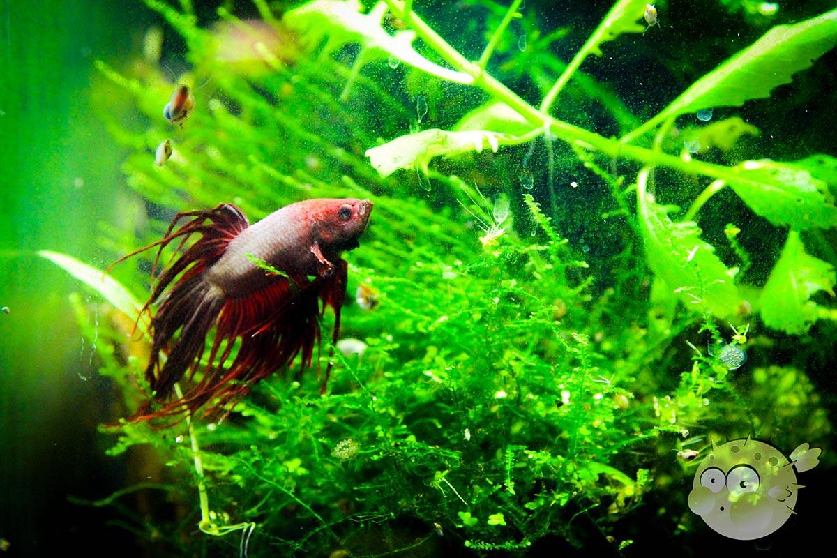 Kampffisch – Ring frei