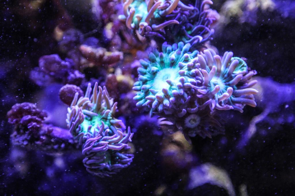Koralle von LED Beleuchtung angestrahlt