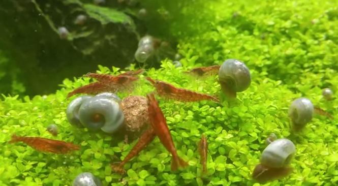 Unterwasserwelten #1 – kuriose Raubtierfütterung von Garnelen und Schnecken